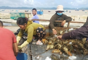 Lobster farmers in Song Cau area suffered heavy losses