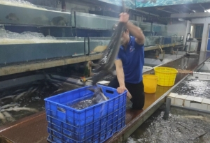 Imported Chinese sturgeons pose challenge to domestic producers