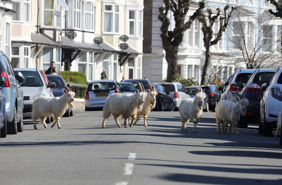 0_Wild-Mountain-Goats-have-decended-onto-the-deserted-streets-of-Llandudno-from-their-home-on-the-near