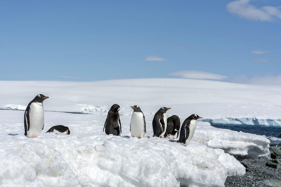 silversea-antarctica-cruise-south-shetland-island-gentoo-penguins