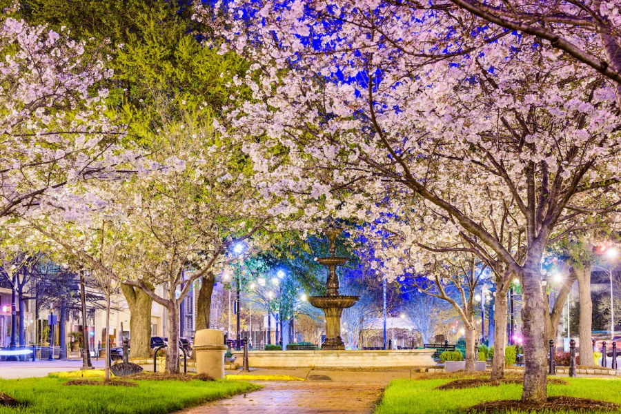 and-by-night-the-cherry-blossoms-are-even-more-enchanting