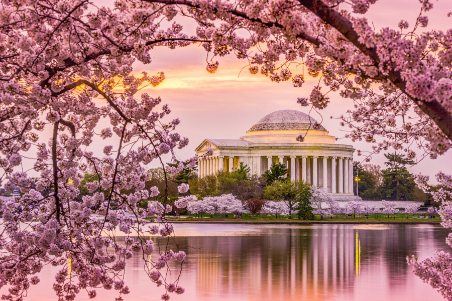 Jefferson-Cherry-Blossom